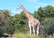 Giraffe outside in the Savanna