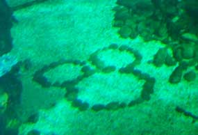 Hidden Mickey in the Aquarium at the Caribbean Coral Reef.