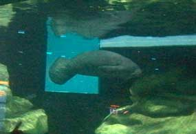Manatees are rehabilitated at the facilities at the Seas with Nemo and Friends