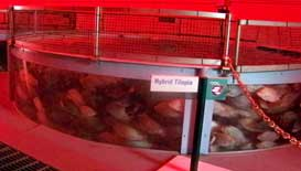 Fish Farming demonstration at The Land Pavilion in Epcot