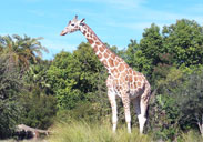 Giraffe outside in the Savanna