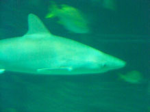 Shark in te Aquarium at the Seas with Nemo and Friends